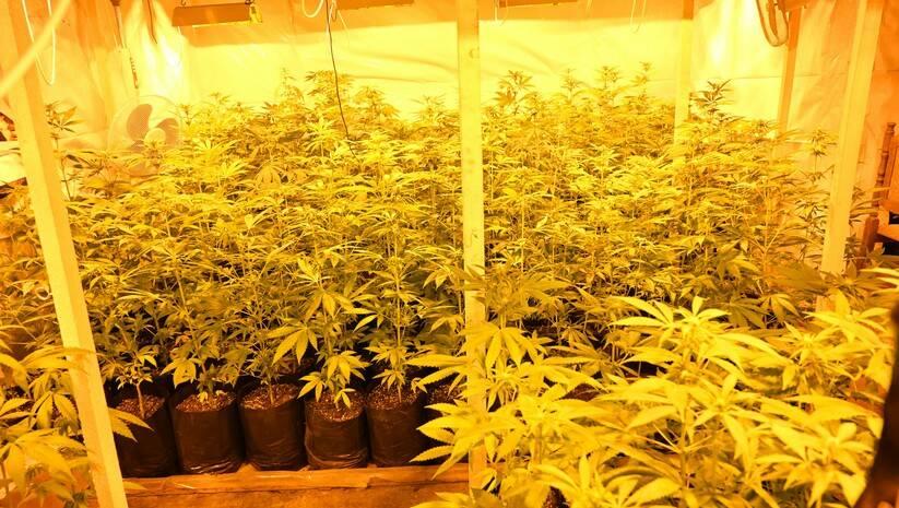 mup.rs: Stabiljke marihuane pronađene u selu Gakovo kod Sombora